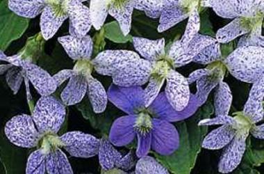 Viola cucullata [sororia] Freckles
