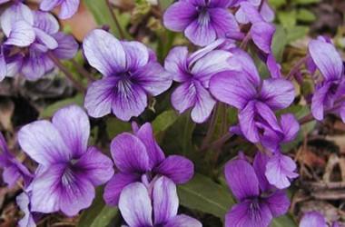 Viola yedoensis [hort.]