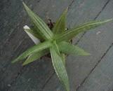 Aloe maculata [saponaria] variegata