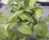 Epipremnum falcifolium aureum