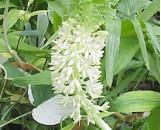 Eucomis autumnalis [undulata]
