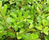 Ficus buxifolia (Ficus lingua)