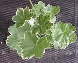 Pelargonium hortorum Petals