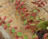 Peperomia Jungle Red