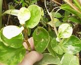 Peperomia obtusifolia alba