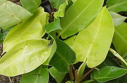 Philodendron Moonlight Hyb Glasshouse Works