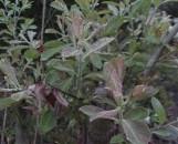 Salix cinerea tricolor