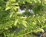 Taxus cuspidata Silver Queen
