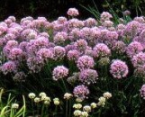 Allium August Confection