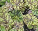 Begonia Marmaduke [hyb]