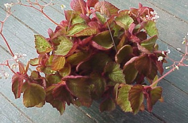 Begonia Orococo [hyb]