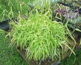 Carex elata Bowle's Golden