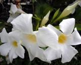 Mandevilla White Velvet