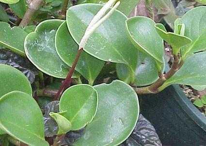 Peperomia Obtusifolia Species Form Glasshouse Works