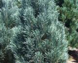 Pinus strobus fastigata
