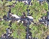 Selaginella moellendorfii