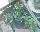 Begonia maculata wightii [hort]