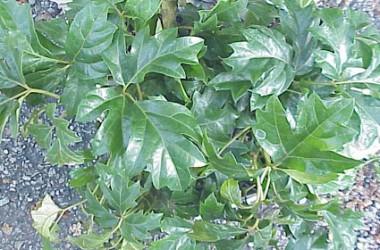 Cissus rhombifolia Fionia