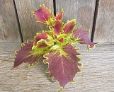 Coleus Big Chief