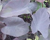 Colocasia esculenta Jet Black Wonder [Etc.]