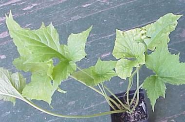 Dorstenia contrajerva amplifolia