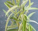 Ficus longifolia allii Variegated