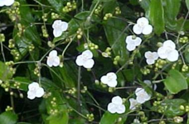Tradescantia (Gibasis) geniculata