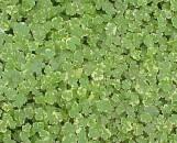 Hydrocotyle sieboldii crystal confetti
