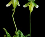 Paphiopedilum maudiae Group