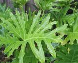 Philodendron selloum [bipinnatifidum]