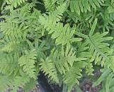 Polypodium (phlebodium) formosanum