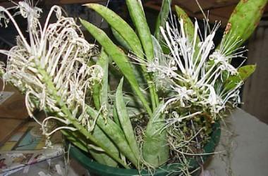 Sansevieria spicata (hort: a dwarf concinna?)