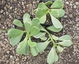 Senecio jacobensii variegatus