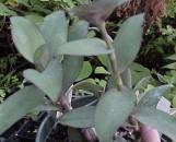 Setcreasea [Tradescantia] pallida [species]