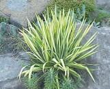 Yucca filmentosa Color Guard