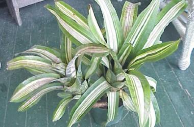 Aechmea orlandiana Bert variegata
