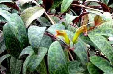Aeschynanthus aff longicaulis/marmorata