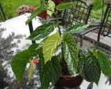 Begonia Juanita's Jewel [hyb]