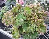 Begonia Crestabruchii [hyb]