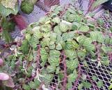 Begonia fagifolia