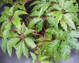 Begonia thiemei [macdougalii purpurea]