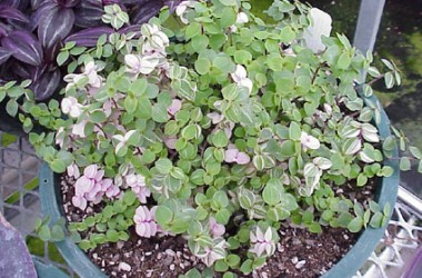 Callisia repens variegata