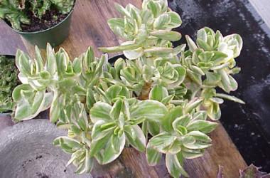 Crassula ovata obliqua tricolor