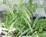 Cyperus albostriatus variegatus
