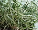 Cyperus alternifolius variegatus