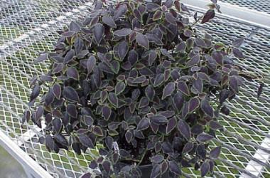 Euphorbia Flameleaf (Species)