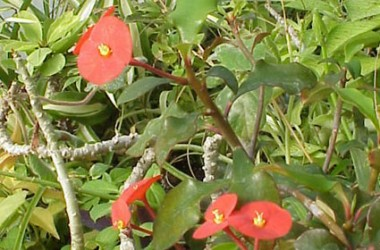 Euphorbia lealii [hort]