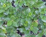Gardenia jasminoides [augusta] August Beauty