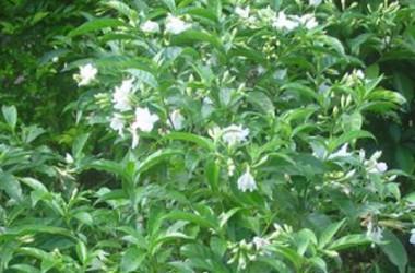 Gardenia jasminoides radicans florepleno