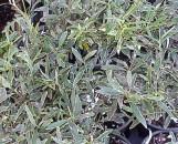 Gardenia jasminoides radicans Margined